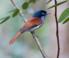 mauritiusi paradicsom-légyvadász (Terpsiphone... - Csodálatos madárvilág
