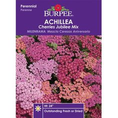 Common Yarrow 'Cherries Jubilee Mix' (Achillea millefolium)