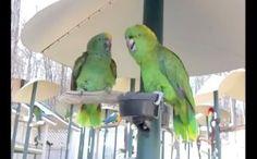 Parrots Argue Like A Married Couple