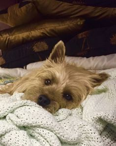 Looks like my Graham, even looks like my blanket! Cairn terriers are the best!