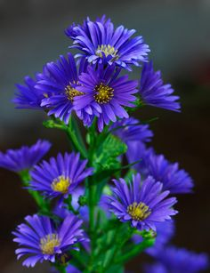 Exotic Flowers, Amazing Flowers, Fresh Flowers, Purple Flowers, Wild Flowers, Beautiful Flowers, Blue Daisies, Garden Pictures, Flower Pictures