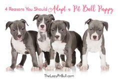 4 Reasons You Should Adopt A Pit Bull | http://www.thelazypitbull.com/4-reasons-you-should-adopt-pit-bull/