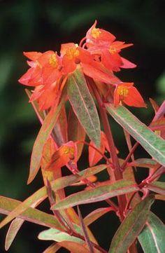 Euphorbia griffithii 'Dixter'