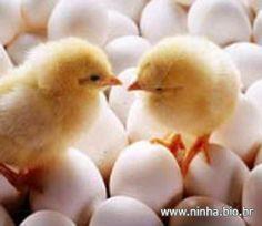 pintinhos e ovos