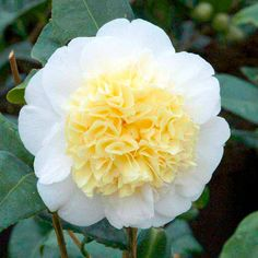 Camellia japonica Plants - Brushfield's Yellow     An impressive evergreen shrub with glossy, oval, leathery leaves, and creamy-white double flowers with light yellow centres. RHS Award of Garden Merit winner. Flowers February-April. Height 3.5m.