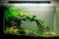 Low tech aquascape -- forum thread http://www.aquariumlife.com.au/showthread.php/51912-Ryan-s-low-tech-nano-tank-19L-Fluval-spec