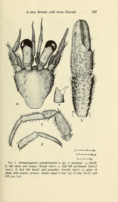 A New Species Of Hermit Crab Of The Genus Nematopagurus Crustacea Decapoda Paguridae From Hawaii - BioStor