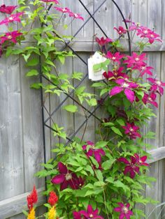 'Niobe' is a bold, manly clematis that visually anchors itself in the landscape. Pruning group 2.
