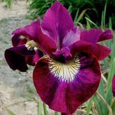 Sultan's Ruby Siberian Iris