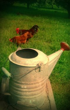 Chickens & Antique Watering Cans....just a few of my favorite things!  <3