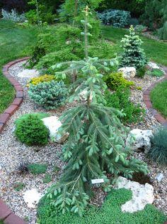 Sortiment Edwin Smits Conifers Picea engelmannii 'Bush's lace'