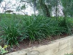 Image result for Liriope muscari