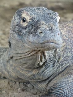 Komodo Dragon 2 by ~Tailfeathrz