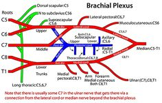 Brachial Plexus- How to draw it well in less than 20 seconds Nerve Anatomy, Body Anatomy, Upper Limb Anatomy, Anatomy Online, Physical Therapy Student, Occupational Therapy, Ulnar Nerve, Gross Anatomy, Medical Anatomy