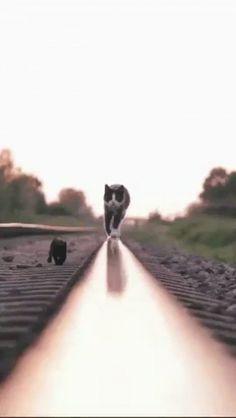 Кошка с котенком идут по железной дороге Source by lenpiksite videos wallpaper cat cat memes cat videos cat memes cat quotes cats cats pictures cats videos I Love Cats, Crazy Cats, Cool Cats, Nature Animals, Animals And Pets, Baby Animals, Cute Funny Animals, Cute Dogs, Funny Cats