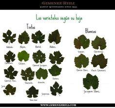info-hoja de distinta variedad de vino