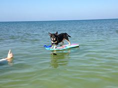 Molly, the surfer dog, at Cape San Blas, Florida.