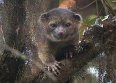 L' oliguinto: découverte d'un nouveau mammifère carnivore - 2Tout2Rien