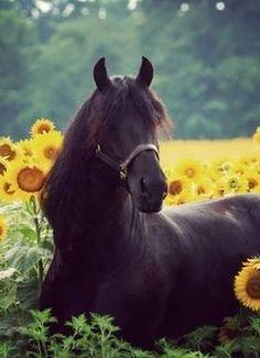 Deep in the Sunflower Field