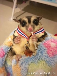 Would you like to know what a sugar glider is eating? Find interesting facts about feeding sugar gliders and taking best care of them. Sugar Glider Baby, Sugar Gliders, Cute Funny Animals, Cute Baby Animals, Japanese Dwarf Flying Squirrel, Lucas The Spider, Baby Skunks, Sugar Bears, Hamster