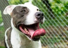 2 / 17 Petango.com – Meet Hindi, a 2 years 10 months Terrier, American Pit Bull / Mix available for adoption in KANSAS CITY, MO Contact Information Address 4400 Raytown Road, KANSAS CITY, MO, 64129 Phone (816) 513-9821 Website http://www.kcpetproject.org Email info@kcpetproject.org