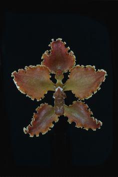 Cyrtochilum insculptum