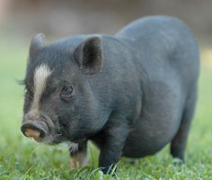 MICRO PIGS: Cutting-edge gene-editing techniques have produced an unexpected byproduct — tiny pigs that a leading Chinese genomics institute will soon sell as pets. Baby Pigs, Pet Pigs, Juliana Pigs, Micro Mini Pig, Baby Animals, Cute Animals, Funny Animals, Mini Pigs, Mini Potbelly Pigs