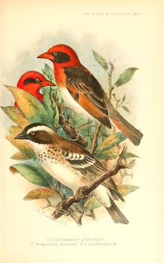 The birds of Africa, comprising all the species...