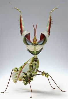 King of Mantis.(10 Pictures)