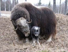 Muskox and baby with some exquisite qiviut in Fairbanks, Alaska
