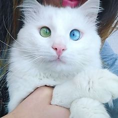 Cat With Heterochromia Has Differently Colored Eyes That Are Just Stunning