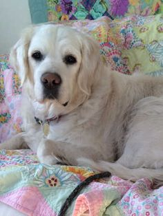 This is Abel a 4 yr old English Cream Golden. He was an owner surrender. He is neutered, current on vaccinations, potty trained, has good house manners, walks well on leash, good with dogs. cats and kids. Abel has been diagnosed with progressive retinal atrophy and is essentially blind. He needs a canine pal in his forever home. Retrieve A Golden, MN. http://www.ragom.org/avail.cgi/Available/dog?dog_id=6688