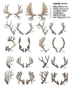 Antler Chart 1: Key - S - Side View F - Frontal View A - Typical Formation B - Non-Typical Leigh©2008