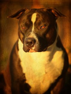"""This is one of my dogs """"Dex"""" a Gottiline Pit Bull. Don't let his looks mislead you, he is a California Registered Service Dog and is a real sweetie!  Taken by Larry Marshall..."""