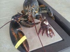 Rare six-clawed lobster is caught off Massachusetts Fishermen discover mutated crustacean in trap and donate it to Maine State Aquarium in Boothbay Harbor where it will go on public display