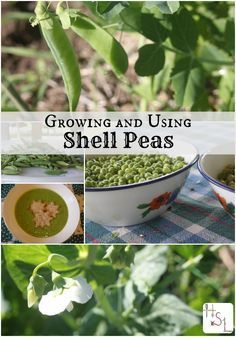 Growing and using shell peas is an easy and tasty crop for the home garden.