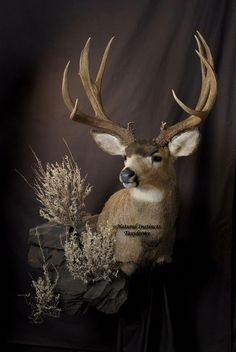 Really want to harvest one of these one day Taxidermy Fox, Taxidermy Decor, Taxidermy Display, Deer Hunting Season, Moose Hunting, Hunting Cabin, Whitetail Deer Pictures, Animals With Horns, Mule Deer Buck