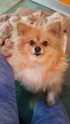Meet Juliet, an adoptable Pomeranian looking for a forever home. If you're…