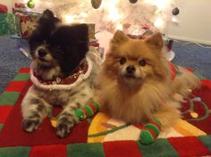 Tanuki and Biscuit the Pomeranians during the holidays.  Biscuit is wearing some very cute socks.