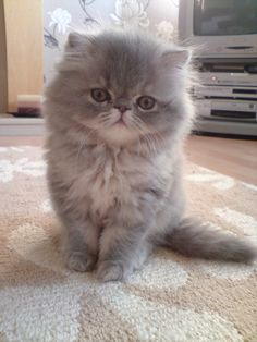 photos of blue and cream persians - Bing images