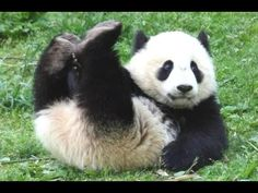 A panda bear is one of the cutest and funniest animals. I tried to gather some funny panda videos and cute panda videos in this cute pandas doing funny thing...