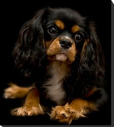 Cavalier King Charles Spaniels - Art, Photography, T-Shirts, Calendars ...