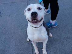 TO BE DESTROYED 4/3/14  Brooklyn Center   My name is TAZZ. My Animal ID # is A0994750.  I am a male gray and white pit bull mix. The shelter thinks I am about 1 YEAR 1 MONTH old.   I came in the shelter as a STRAY on 03/24/2014 from NY 11212, owner surrender reason stated was OWN ARREST.   https://www.facebook.com/photo.php?fbid=781090671903814&set=a.779764525369762.1073743079.152876678058553&type=3&theater