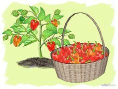 Comment cultiver des poivrons
