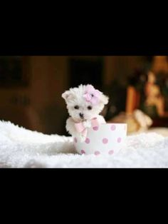 We specialize in Teacup Puppies, Offering the tiniest Teacup Puppies for Sale - Find Teacup Puppies and Dogs for sale here! Maltese Puppies For Sale, Tiny Puppies, Dogs For Sale, Maltese Dogs, Cute Dogs And Puppies, Little Puppies, Baby Dogs, Teacup Maltese Puppies, Doggies