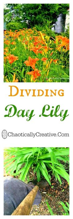 Dividing day lilies---good thing to remember