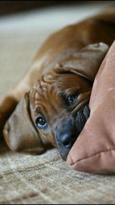 Rhodesian Ridgebacks: the most honest dog breed