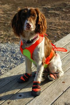 I tried this get-up on my dog and he marched around and around faster faster. Still laughing years later. Chien Springer, Springer Dog, Springer Spaniel Puppies, English Springer Spaniel, Cocker Spaniel, Beautiful Dog Pictures, Beautiful Dogs, Beagle Dog, Fluffy Animals
