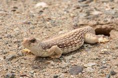 Desert Iguana!