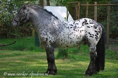 Noriker Horse.  Another spotted horse.  #horses